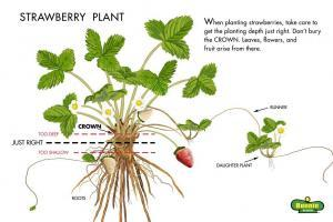 strawberry plant Illustration